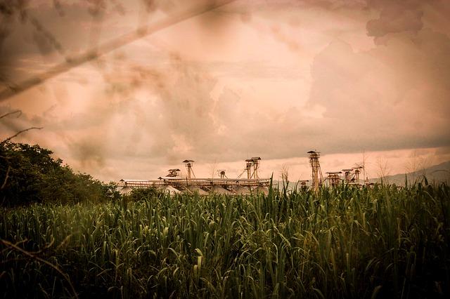 pole s cukrovou třtinou